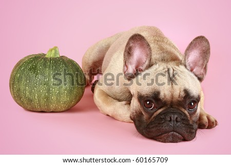Funny French bulldog and gourd on a pink background - stock photo