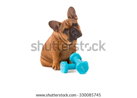Funny French Bulldog puppy going on a diet, isolated over white - stock photo