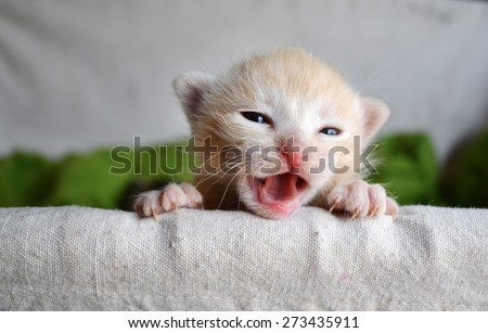 Funny furry tiny orange tabby kitten peeking over the edge of a basket. Mouth open meowing - stock photo