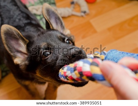 Funny German shepherd puppy pulling a tug toy (selective focus on the nose) - stock photo