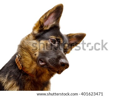 Funny German shepherd with its head tilted, isolated on white (shallow DOF, selective focus on the German shepherd eye), with copy space on the right for your text - stock photo