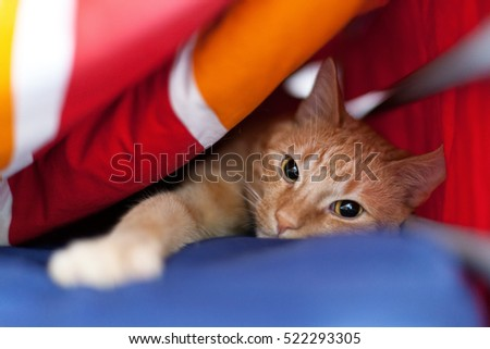 Funny ginger cat under the blanket
