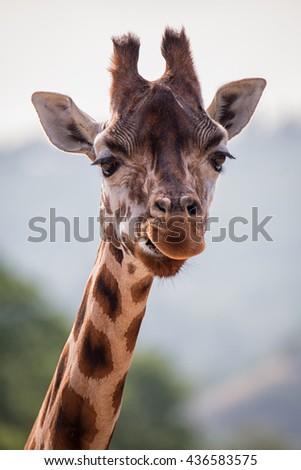 Funny giraffe's face. Giraffe close up.