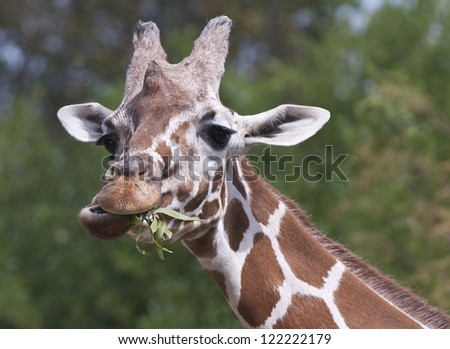 Funny giraffe with mouthful. - stock photo