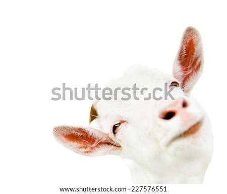Funny goat (head close-up), isolated on white background - stock photo