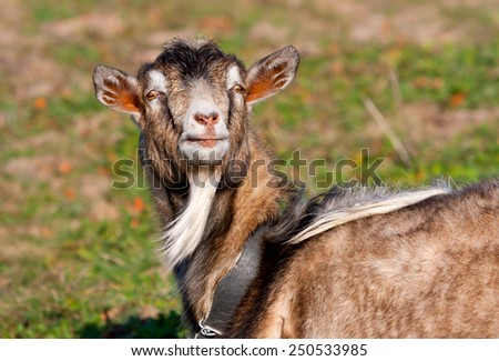 funny goat in garden at sunny day  - stock photo