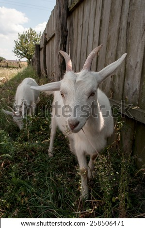 Funny goat on pasture. Vertical photo. - stock photo