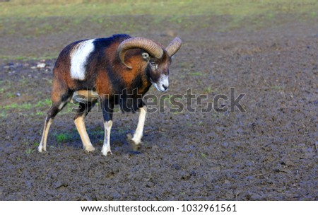 funny goat on rural farm pasture