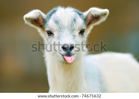 funny goat puts out its tongue - stock photo