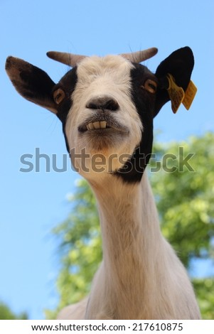 Funny goat smiling with sticky out teeth - stock photo