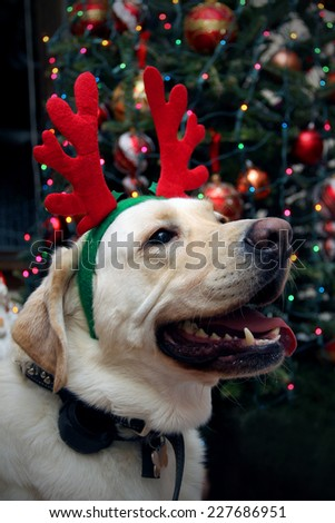 Funny golden retriever with the Christmas antlers - stock photo