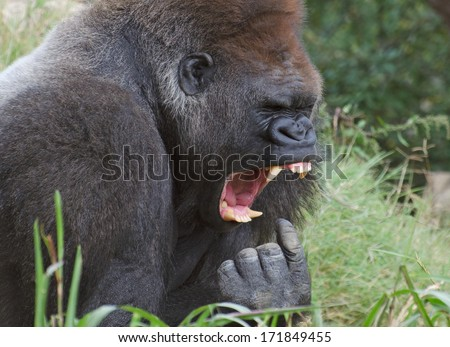 funny Gorilla looks like he's gagging - stock photo