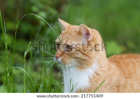 funny grass eating red tiger cat outdoor in front of green eating some grass. The grass hanging out of his mouth. - stock photo