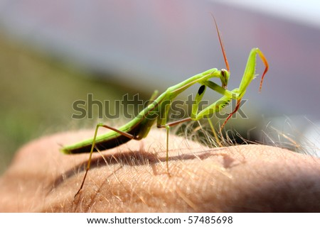 funny green mantis sitting on the hand taking in summer