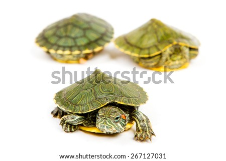 Funny green turtle on parade or walking around isolated on a white background - stock photo