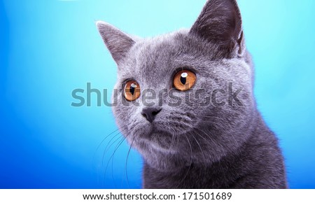Funny grey british cat is isolated on a blue background.