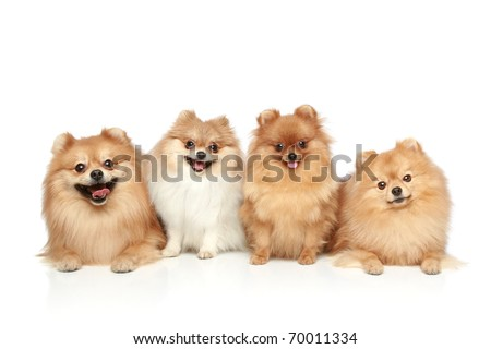 Funny group of Spitz puppies on white background - stock photo