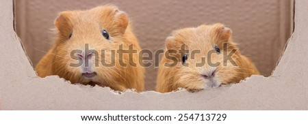 funny guinea pig - stock photo