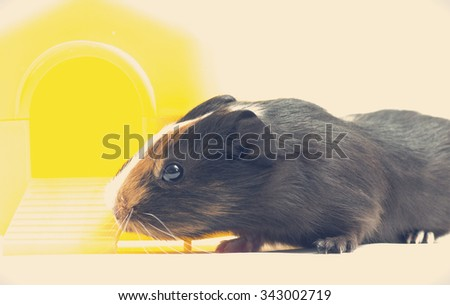 Funny guinea pig and house - stock photo