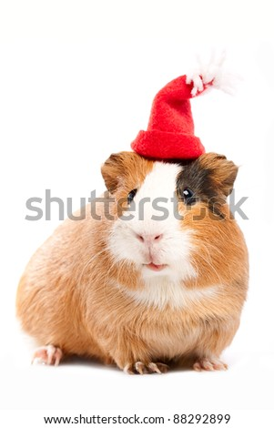 Funny guinea pig portrait over white background - stock photo