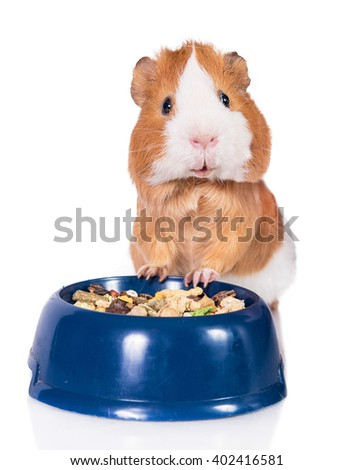 Funny guinea pig with a bowl of food isolated on white   - stock photo