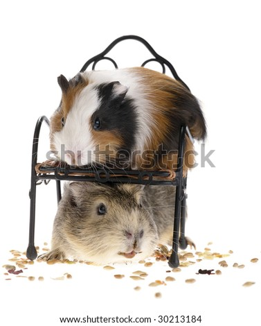 funny guinea pigs on white background
