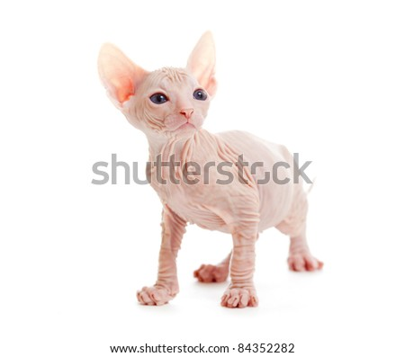 Funny hairless sphynx kitten isolated - stock photo