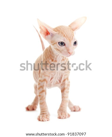 Funny hairless sphynx tabby kitten isolated - stock photo