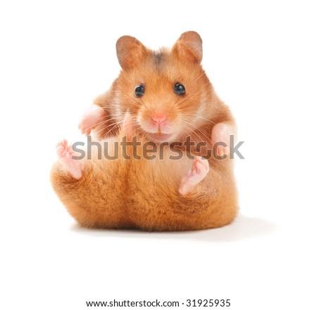 Funny Hamster - stock photo