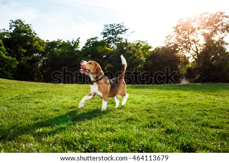 Funny happy beagle dog walking, playing in park.