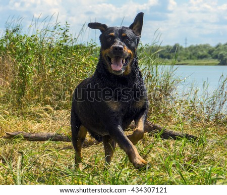 Funny Happy rottweiler dog having fun on the river bank - stock photo