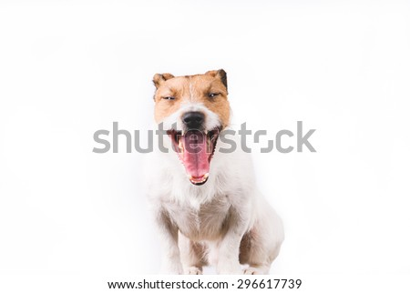 Funny happy yawning Jack Russell Terrier dog