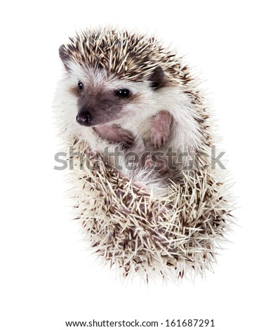 Funny hedgehog (Atelerix albiventris) watches from the tangle - stock photo