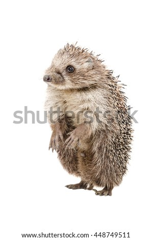 Funny hedgehog standing on his hind legs isolated on white background - stock photo