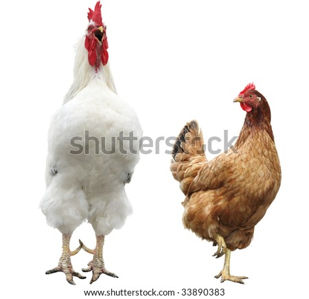 funny hen and rooster - stock photo