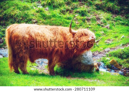 Funny highland cow enjoying summer vacation in mountain field. Summer break concept. Soft focus.  - stock photo