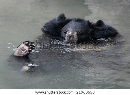 Funny Himalayan black bear - stock photo