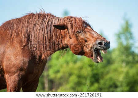 Funny horse yawning on the pasture in summer - stock photo