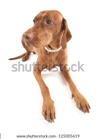 Funny Hungarian Vizsla dog. Wide angle portrait of a beautiful brown dog. Isolated on white background.