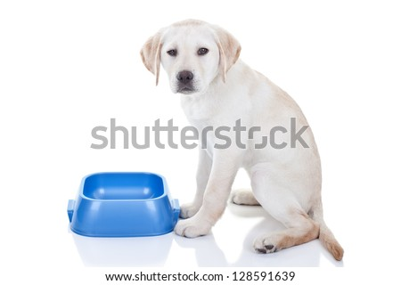 Funny hungry Labrador retriever puppy dog and empty food bowl - isolated on white background - stock photo