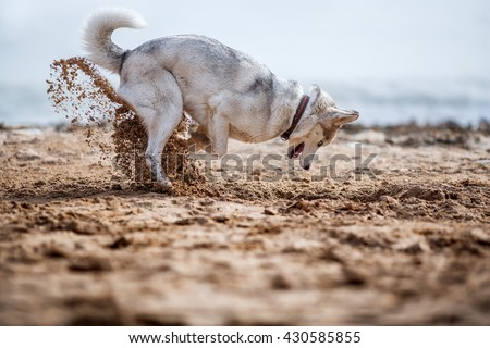 Funny Husky digging sand at the beach - stock photo