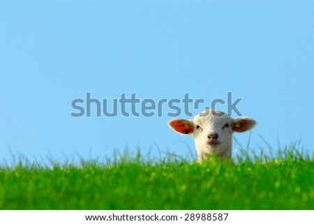 funny image of a cute lamb in spring - stock photo