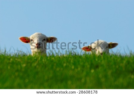 funny image of a cute lambs in spring - stock photo