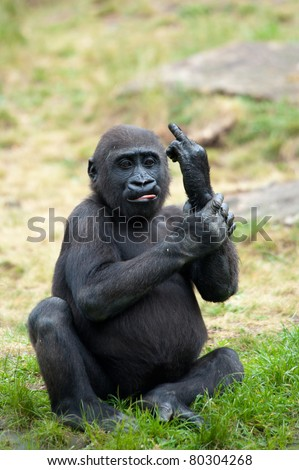 Funny image of a young gorilla sticking up its middle finger - stock photo