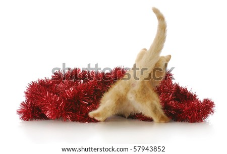 funny kitten from the backside playing in red christmas garland with reflection on white background - stock photo