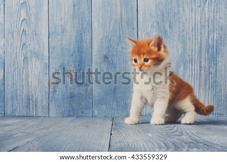 Funny kitten. Ginger kitten with white chest. Long haired red orange kitten. Sweet adorable kitten on a serenity blue wood background. Small cat. Funny kitten with copyspace - stock photo