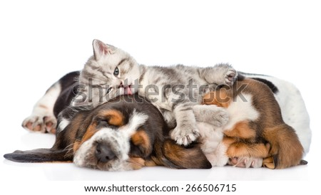 Funny kitten lying on the puppies basset hound and licks them. isolated on white background  - stock photo