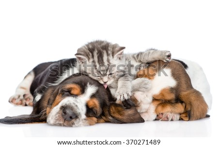 Funny kitten lying on the puppies basset hound and licks them. isolated on white background