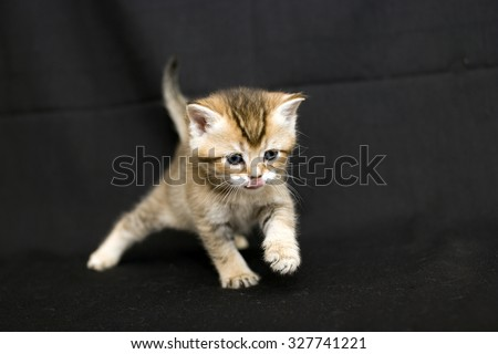 Funny kitten on a dark background, kitten British breed, a small kitten in drapery, pet, cute baby. - stock photo