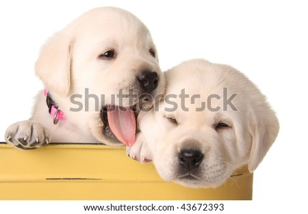 Funny labrador puppies in a yellow container. - stock photo